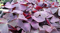 Oxalis triangularis (purple sorrel)