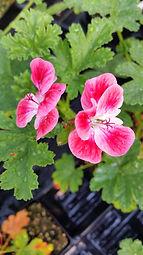 Pelargonium 'Apricot'