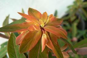 Euphorbia griffithii 'Fire Glow'