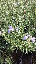 Rosmarinus officinalis 'Blue Spires'