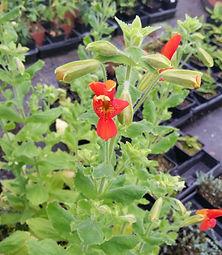 Erythranthe cardinalis aka Mimulus
