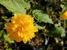 Kerria japonica 'Plentiflora'