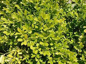 Buxus microphylla 'compacta'
