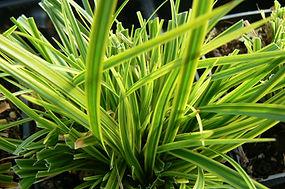 Carex dolichostachya 'Gold Fountains'