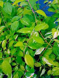 Philadelphus microphyllus 'Variegata'