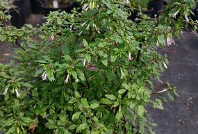 Fuchsia 'Chance Encounter'