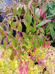 Fuchsia regia subsp. serrae