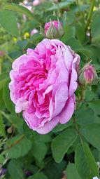 Rosa 'Autumn Damask'