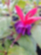 Fuchsia 'Double Otto'-min.jpg