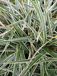 Ophiopogon japonica 'Pam Harper'
