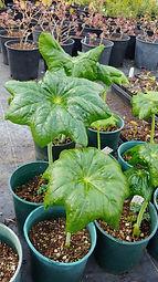 Podophyllum pleianthum x versipelle