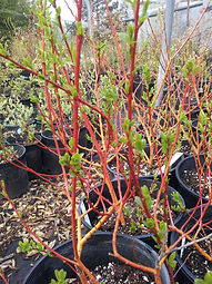 Salix alba 'Flame'