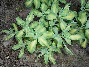 Sedum spectabile variegatum