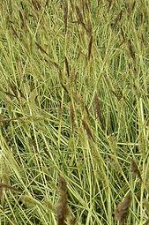 Carex aureo 'Variegata'