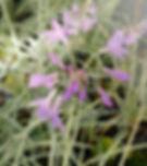 Tulbaghia violacea 'Variegata'.jpg