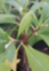 Edgeworthia pap..jpg