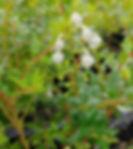 Gaultheria incana (2).jpg