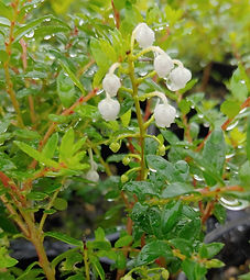Gaultheria insana (sym Pernettya furens/G. furens)