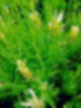 Lemon-Scented Lavender