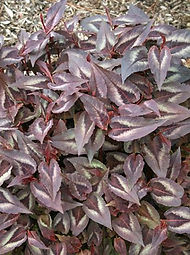Persicaria 'Red Dragon'