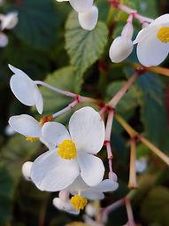 Begonia grandis ssp. evansiana var alba