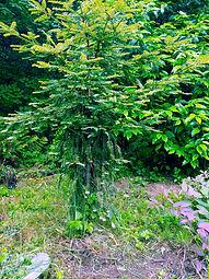 Sequoia sempervirens 'Contorta'
