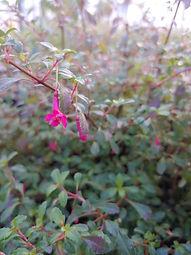 Fuchsia minutiflora
