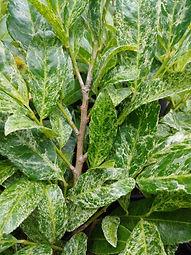 Prunus laurocerasus 'Greenmarble'