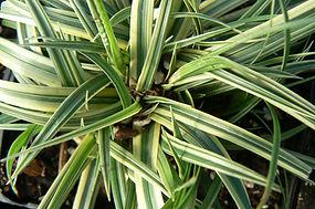Carex morrowii 'Silver Sceptr'