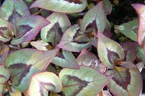 Persicaria 'Langthorn's Variety'