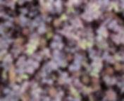 Acaena inermis 'Purpurea'.jpg