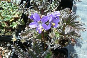 Polemonium yezoense hidakanum 'Purple Rain'