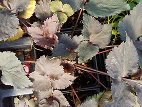 Cryptotaenia japonica f. atropurpurea