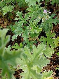 Pelargonium graveolens 'Silver Rose'