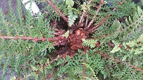 Polystichum setiferum Divisilobum Group