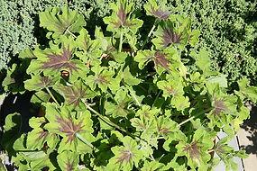 Pelargonium 'Chocolate Mint'