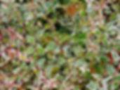 Multicolored Abelia