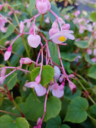 Begonia grandis 'Herron's Pink'