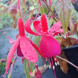 Fuchsia 'Aztec'