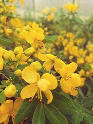 Cassia corymbosa 'Yellow Cups'