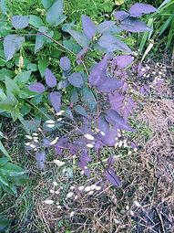 Clematis recta 'Purpurea '