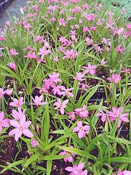 Rhodohypoxis x 'Hebron Farm Cerise'