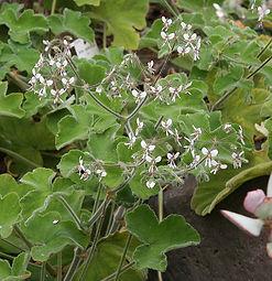 Pelargonium tomentosum
