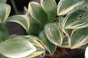 Variegated Solomon Seal
