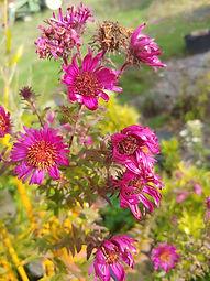 Aster novae-angliae 'September Ruby'