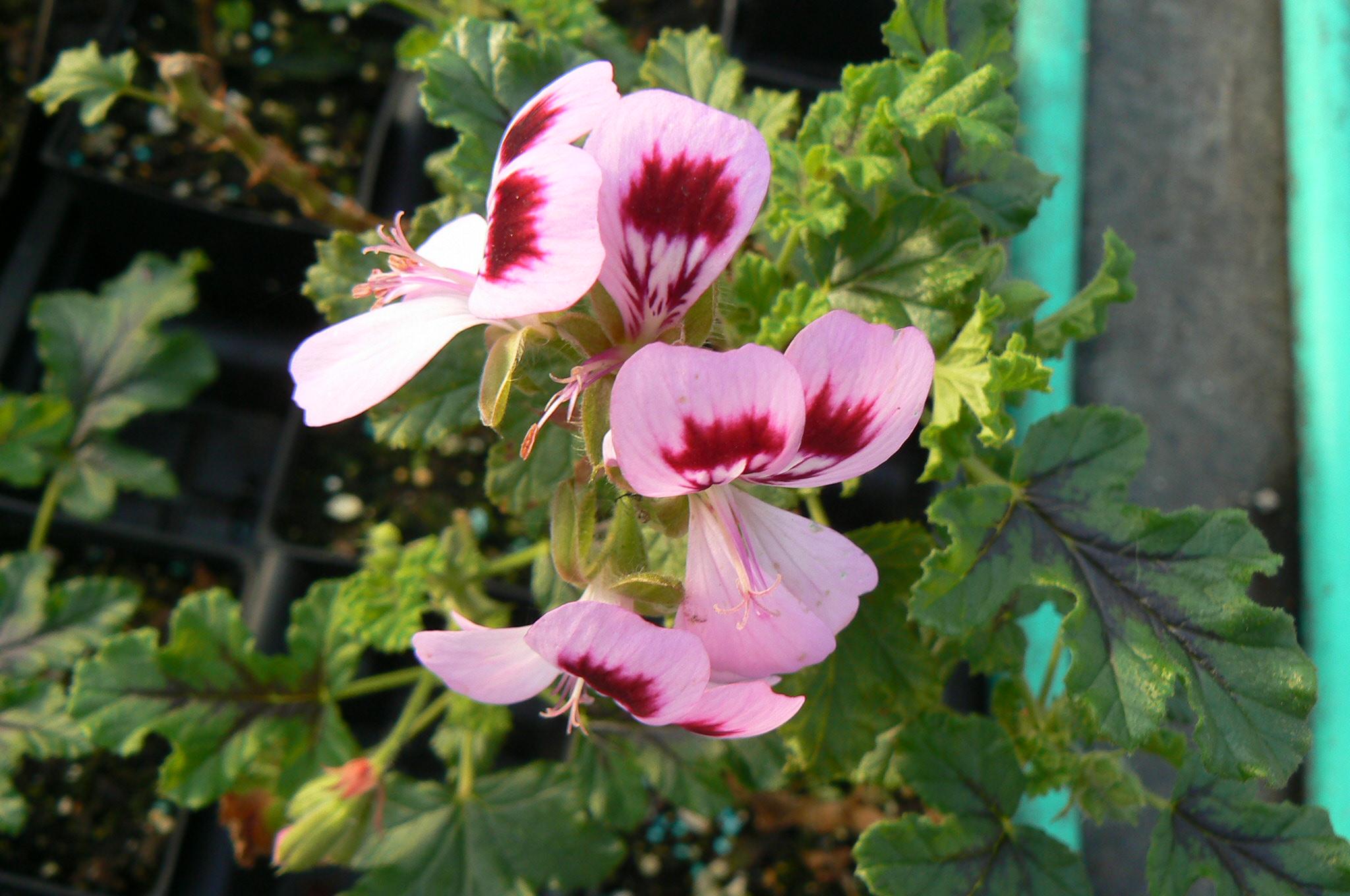 Pelargonium 'Wildwood'