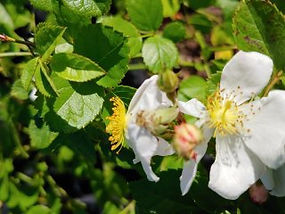 Rosa 'The Gift'