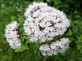 Valerian officinalis