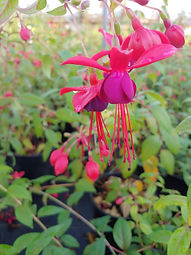 Fuchsia 'Lady Boothby'