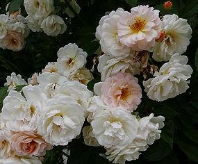 Rosa 'Ghislaine de Feligonde'